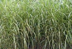 Ornamental grass background Stock Photo