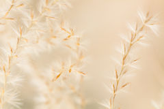 Ornamental grass close up background Royalty Free Stock Photo