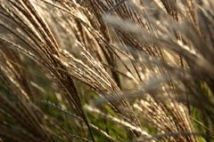 Ornamental grass detail. Detailed view of stalks of ornamental grass Stock Photo