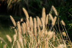 Ornamental Grass Stock Images