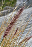 Ornamental grass Royalty Free Stock Photography