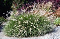 Ornamental grass Stock Photos