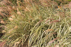 Ornamental grass, Miscanthus sinensis, Chinese Silver grass grow. Closeup of ornamental grass, Miscanthus sinensis, Chinese Silver grass growing in the garden in Stock Image