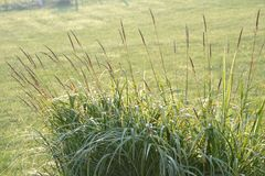 Ornamental grass. In the morning light Royalty Free Stock Images