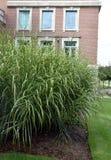Ornamental grass Royalty Free Stock Photo