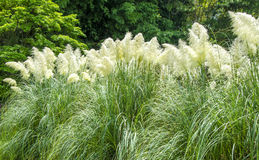 Ornamental grass in the park. Stock Photo