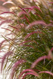 Ornamental Grass Royalty Free Stock Image