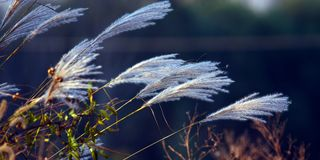 Ornamental grass in wind Stock Photo