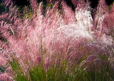 Ornamental Grasses. Close-up of Ornamental Grass in the Early Morning Sun Stock Images