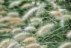 Ornamental Grasses Stock Images