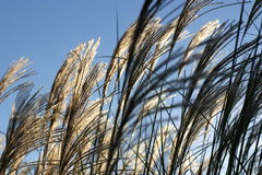 Ornamental grasses in wind. Ornamental grasses set against a blue sky, blowing in the breeze stock image