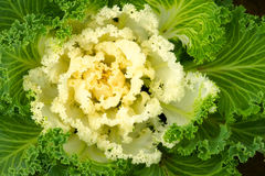 Ornamental green cabbage. A green ornamental cabbage,shot from above Stock Images