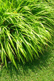 Ornamental green grass Royalty Free Stock Image