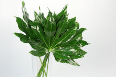 Ornamental green leaves on the white background Stock Photography