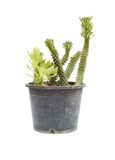 Ornamental Hemp Cactus Isolated on White Background Royalty Free Stock Images