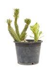 Ornamental Hemp Cactus Isolated on White Background Royalty Free Stock Image