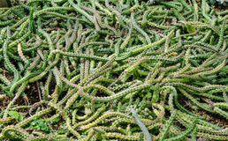 Ornamental Hemp Cactus look like snake Stock Photo
