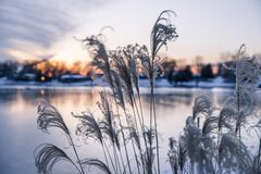 Ornamental High Grasses in the Wind in Golden Winter Sunset over stock photography