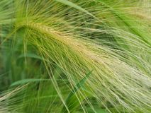 Ornamental hordeum Royalty Free Stock Photography