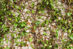Ornamental ivy plants Royalty Free Stock Images