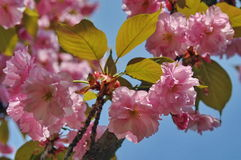 Spring background. Pink flowers in spring. Ornamental Japanese cherry blossoms Stock Image