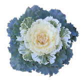 Ornamental Kale. Green, yellow,  White Ornamental Kale cabbage flower Royalty Free Stock Photo