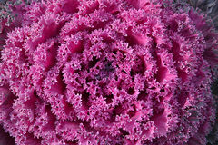 Ornamental kale Stock Images