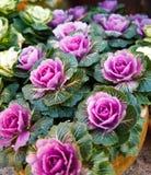 Ornamental kale. Beautiful ornamental kale in garden Stock Photography