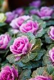Ornamental kale. Beautiful ornamental kale in garden royalty free stock photography
