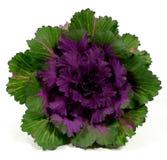 ornamental kale Стоковая Фотография RF