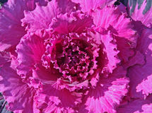Ornamental Kale Royalty Free Stock Images