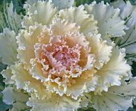 Ornamental Kale. Frilly leaves of an ornamental kale in cream and pink Royalty Free Stock Image