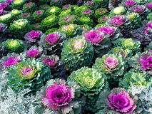 Ornamental Kale. Beautiful ornamental kale just outside the Kremlin, Russia Royalty Free Stock Image