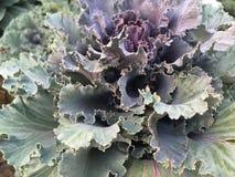 ornamental kale стоковые изображения
