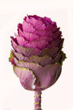 Ornamental Kale (Brassica oleracea) Royalty Free Stock Image