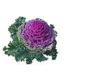 Ornamental kale (Brassica oleracea). Isolated. Royalty Free Stock Photography