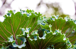 Ornamental Kale and cabbage Stock Images