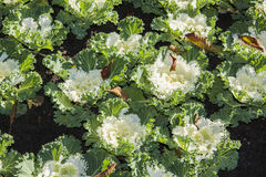Ornamental kale Stock Images