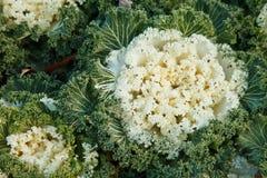 Ornamental kale in garden. Beautiful ornamental kale in garden Stock Photo