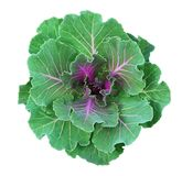 Ornamental kale in green and purple colors. Isolated on white. Decorative cabbage. Brassica oleracea var. acephala Stock Photography
