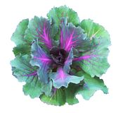 Ornamental kale in green and purple colors. Isolated on white. Decorative cabbage. Brassica oleracea var. acephala Royalty Free Stock Photo
