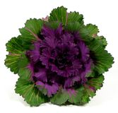 Ornamental kale Royalty Free Stock Photography