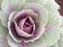 Ornamental Kale Royalty Free Stock Photo