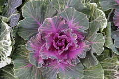 Ornamental kale Royalty Free Stock Photos