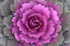Ornamental Kale Horizontal. Close-up of the head of an ornamental Kale Royalty Free Stock Photos