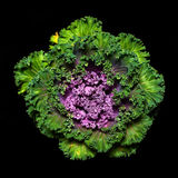 Ornamental kale Royalty Free Stock Photo