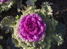Ornamental kale  with pink crinkled leaves. Brilliant  crinkly leaves of ornamental kale brassica oleracea Acephala add striking color to the winter garden as Stock Images