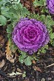 Ornamental Kale Plant Royalty Free Stock Images