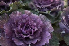Brassica oleracea plants. Ornamental kale with purple and green leaves Stock Photography