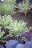 Ornamental Kale Royalty Free Stock Image